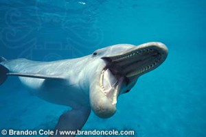 my777-bottlenose_dolphin_underwater_brandon_cole